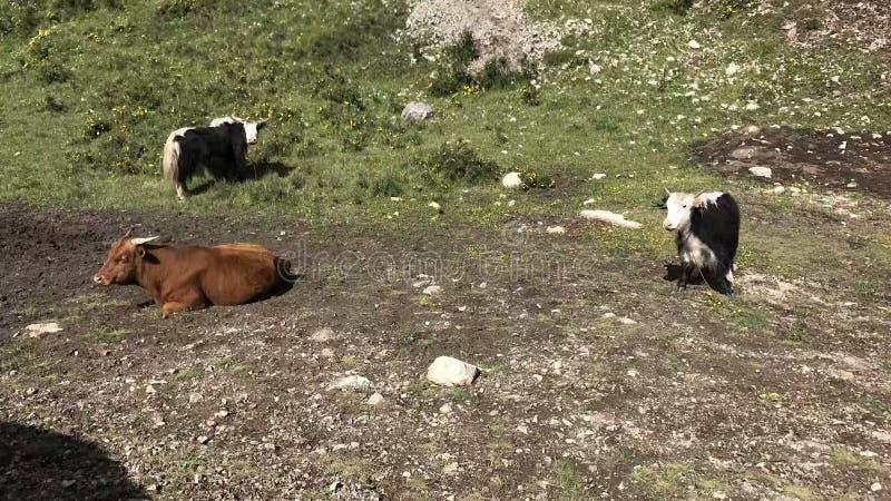 在大草原的牛休息 免版税库存照片