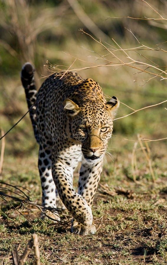 在大草原的豹子 国家公园 肯尼亚 坦桑尼亚 马赛马拉 serengeti 库存照片