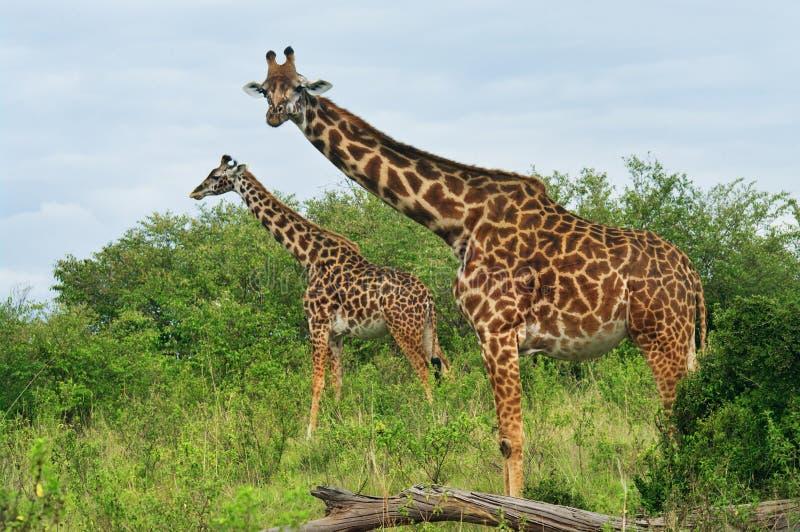 在大草原的野生长颈鹿 免版税库存图片