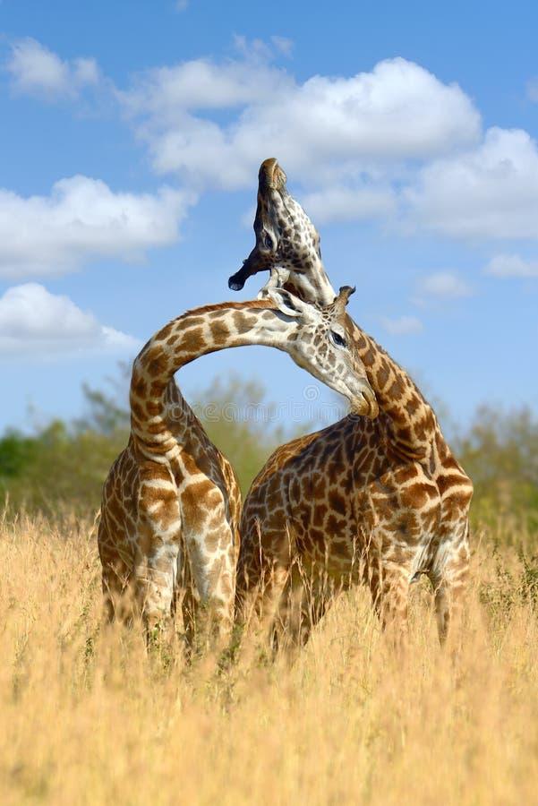 在大草原的长颈鹿在非洲 免版税库存照片