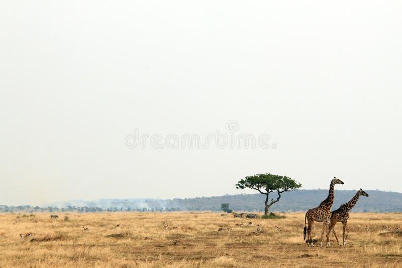 在大草原的长颈鹿夫妇 库存照片