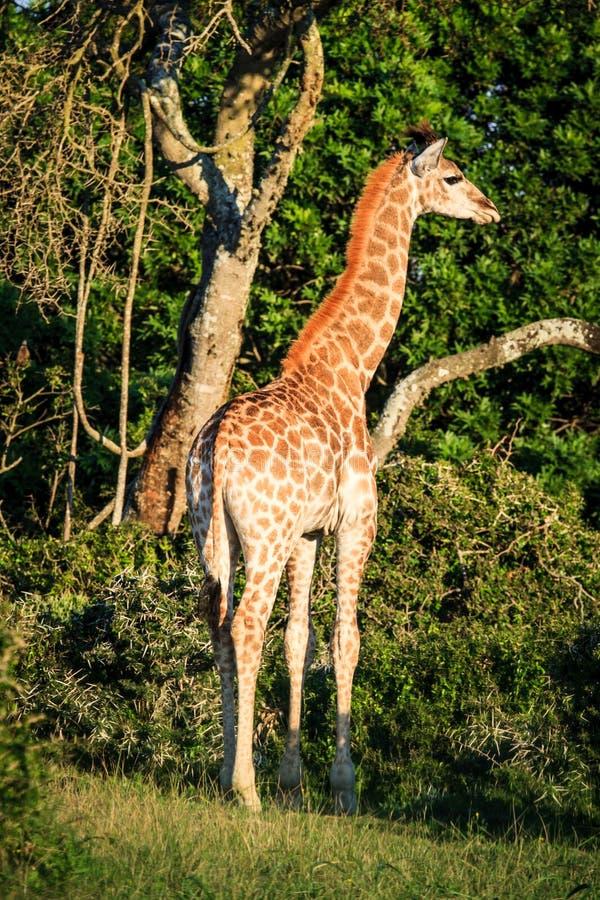 在大草原的长颈鹿画象 免版税库存图片