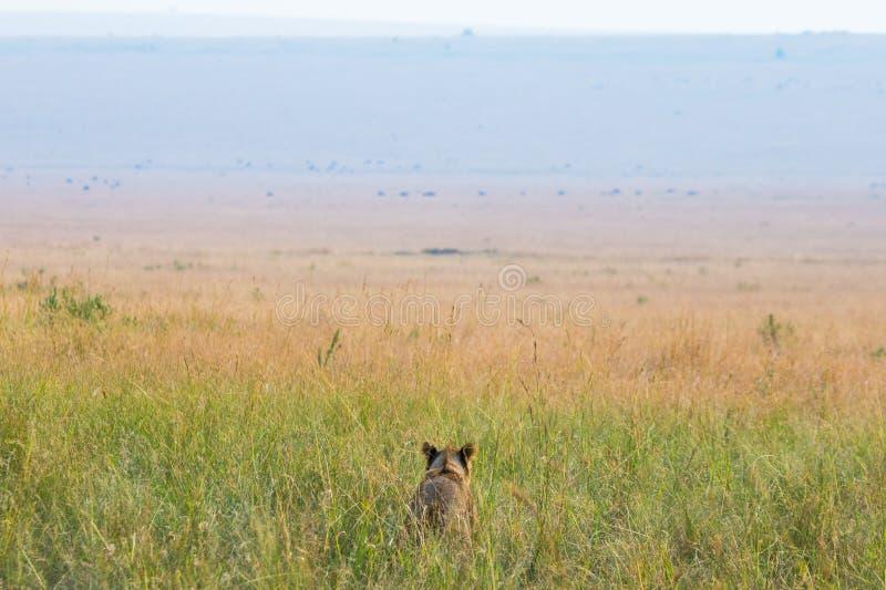 在大草原的雌狮 国家公园 肯尼亚 坦桑尼亚 mara马塞语 serengeti 免版税库存图片