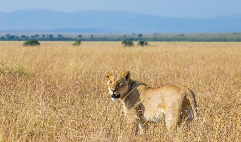 在大草原的雌狮 国家公园 肯尼亚 坦桑尼亚 mara马塞语 serengeti 库存图片