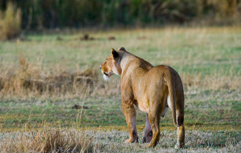 在大草原的雌狮 国家公园 肯尼亚 坦桑尼亚 mara马塞语 serengeti 库存照片