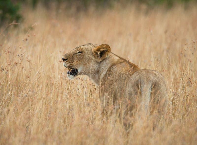 在大草原的雌狮 国家公园 肯尼亚 坦桑尼亚 mara马塞语 serengeti 免版税图库摄影