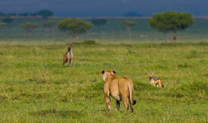 在大草原的雌狮 国家公园 肯尼亚 坦桑尼亚 mara马塞语 serengeti 免版税库存照片