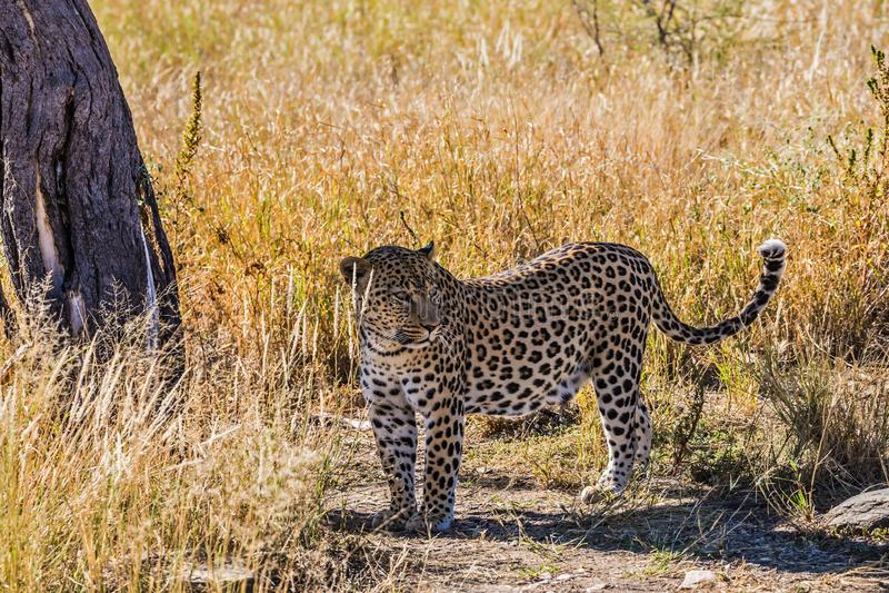 在大草原的非洲豹子 免版税库存照片