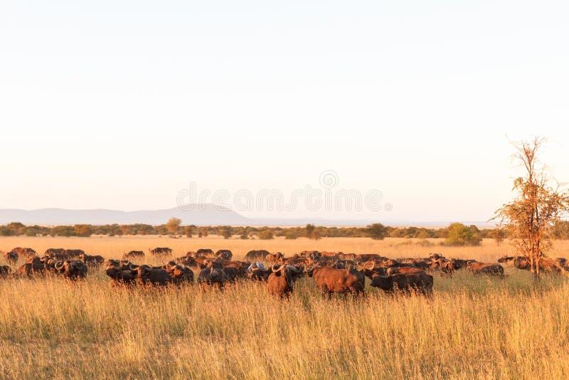 在大草原的风景 非洲水牛大牧群在塞伦盖蒂的 坦桑尼亚 免版税库存图片