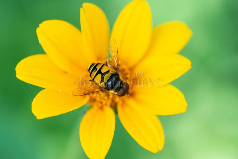 在大草原领域的明亮的黄色错误向日葵 菊科家庭的开花植物 Rhizomatous草本多年生植物 图库摄影