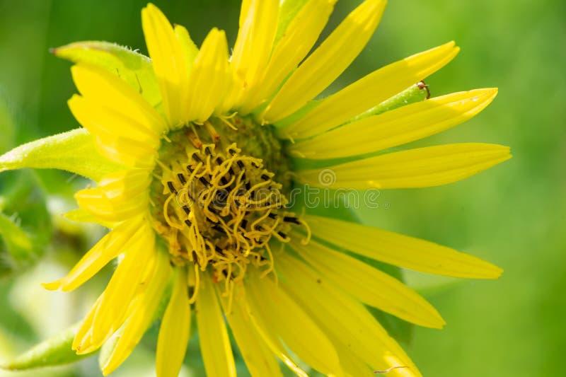 在大草原领域的明亮的黄色错误向日葵 菊科家庭的开花植物 Rhizomatous草本多年生植物 免版税库存照片