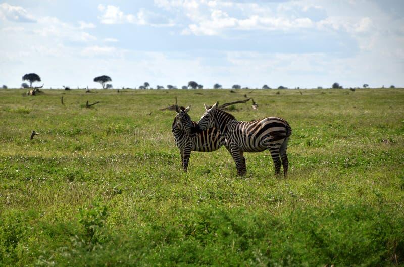在大草原,非洲,肯尼亚的斑马 免版税图库摄影