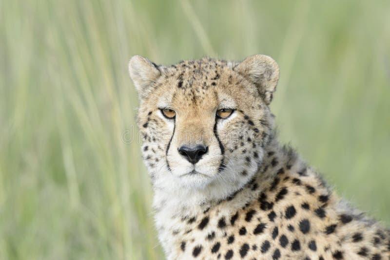 在大草原,马塞语玛拉,肯尼亚的猎豹画象 免版税库存图片