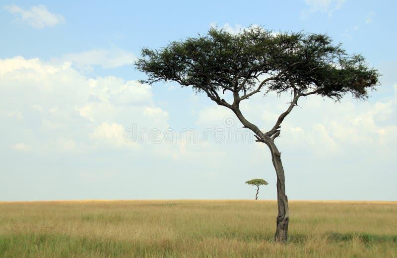 在大草原的金合欢树 免版税库存图片