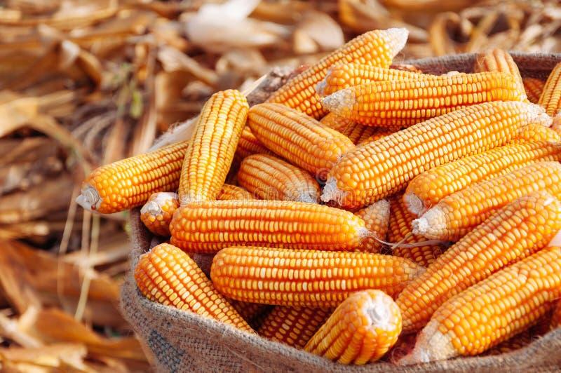 在大袋的成熟黄色玉米在干燥果壳农村农厂自然有机 免版税库存图片