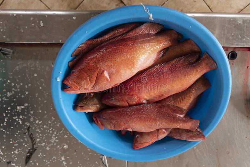 在大西洋东部catched的新鲜的Bluespotted雪鱼 库存图片