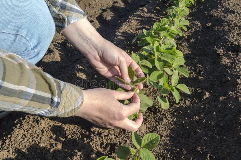 在大豆的女性农夫` s手调遣 免版税库存图片
