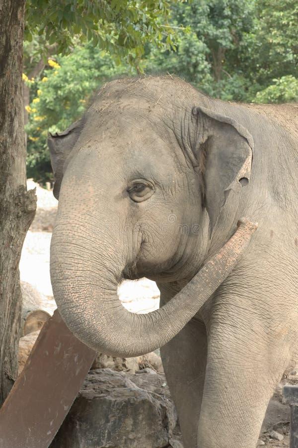 在大象头的特写镜头 免版税库存图片