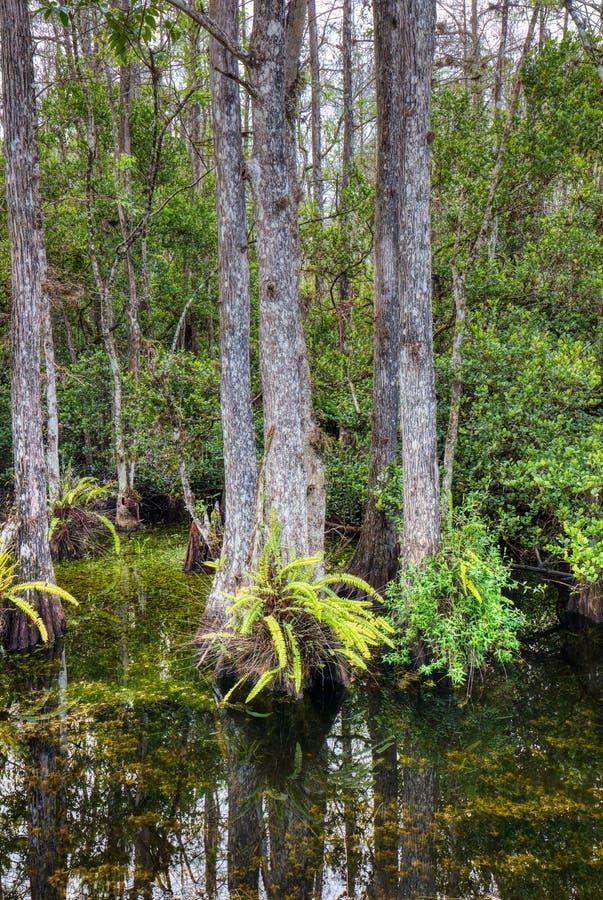 在大赛普里斯全国蜜饯,佛罗里达,美国的沼泽 免版税库存图片