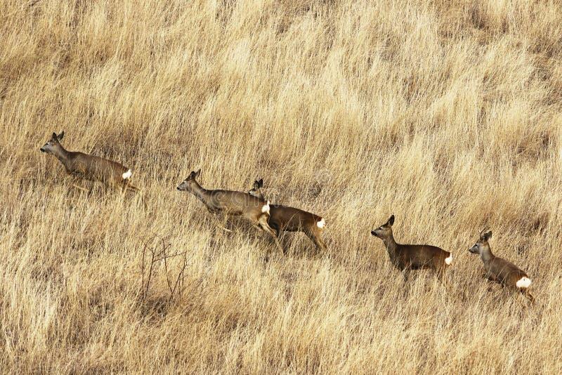 在大退色的草的狍牧群 免版税库存图片