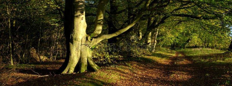 在大道o f山毛榉树的秋天温暖的平衡的阳光在南下来国立公园,英国 免版税库存照片