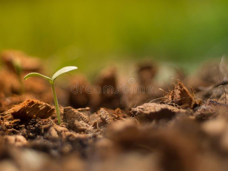 在大量椰子粗硬纤维和早晨点燃与软的焦点的地面的瓜芽 免版税库存图片