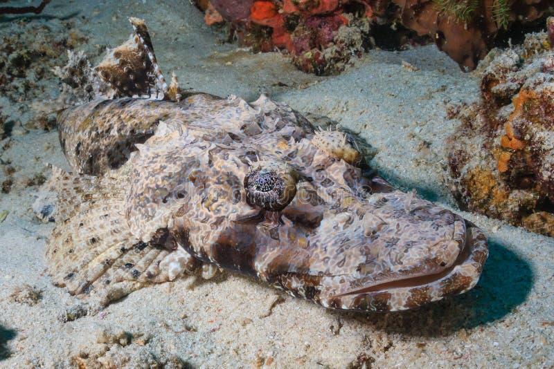 在大锅,科莫多岛的鳄鱼鱼 库存图片