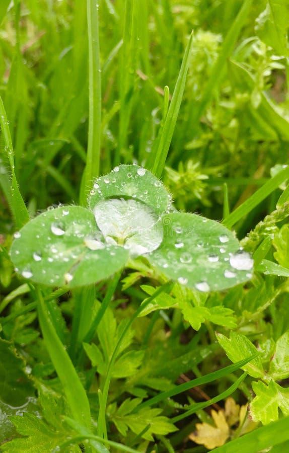 在大雨以后的三叶草 免版税库存图片