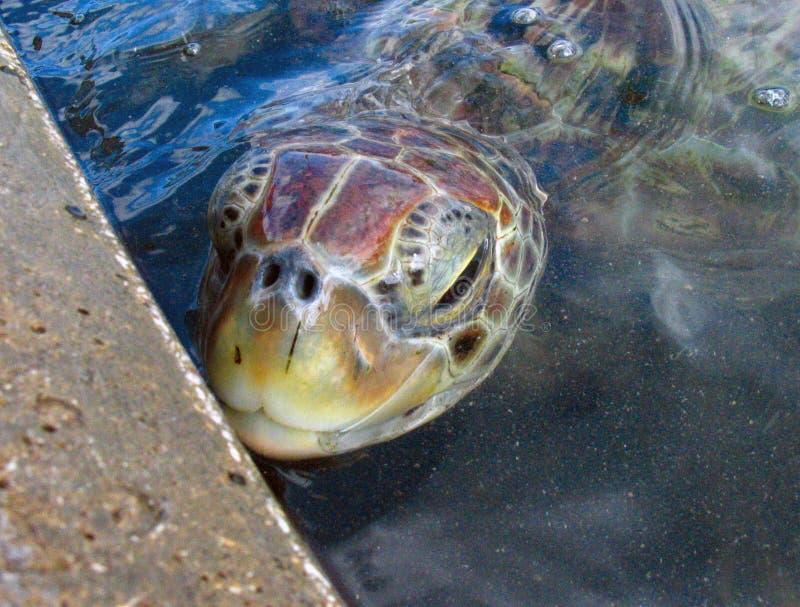 在大鳄鱼乌龟农场的乌龟顶头特写镜头 免版税图库摄影