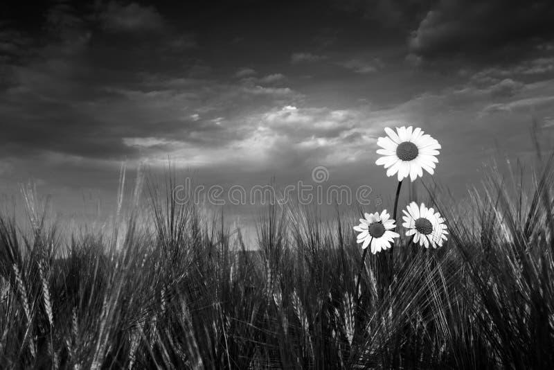 在大麦的三朵春白菊花 Leucanthemum vulgare 免版税图库摄影