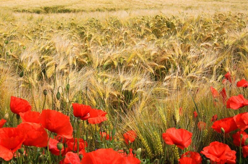 在大麦草屑领域的看法在与红色虞美人花罂粟属rhoeas的夏天 库存图片