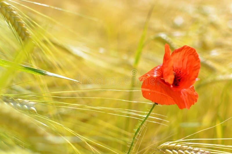 在大麦领域的孤独的鸦片 免版税库存照片
