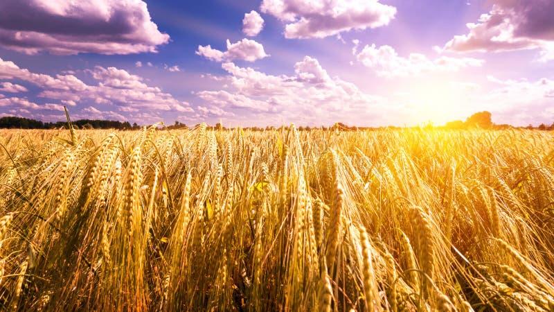 在大麦领域的日落 库存图片