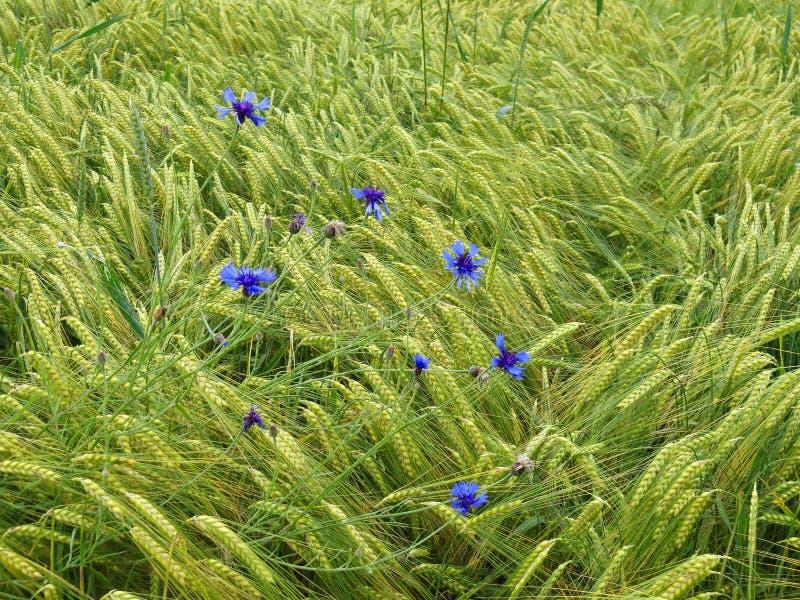 在大麦领域的蓝色矢车菊 库存图片