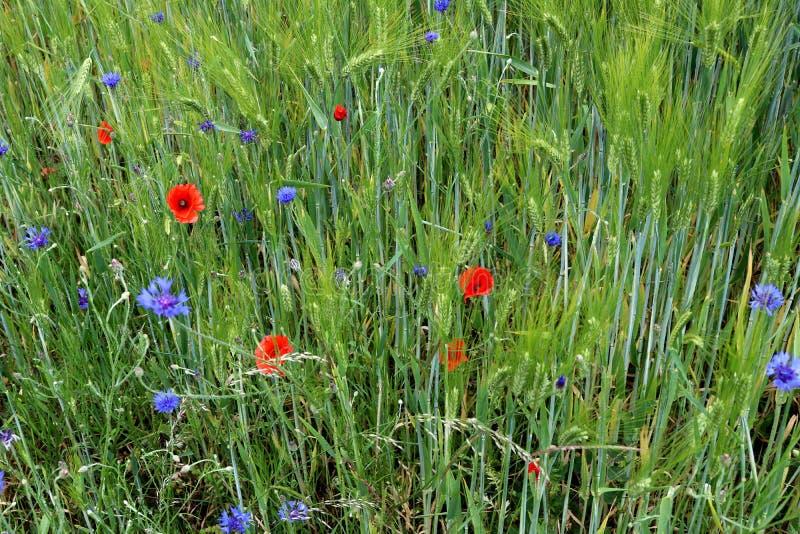 在大麦领域的边缘的野生生长蓝色矢车菊 免版税库存照片