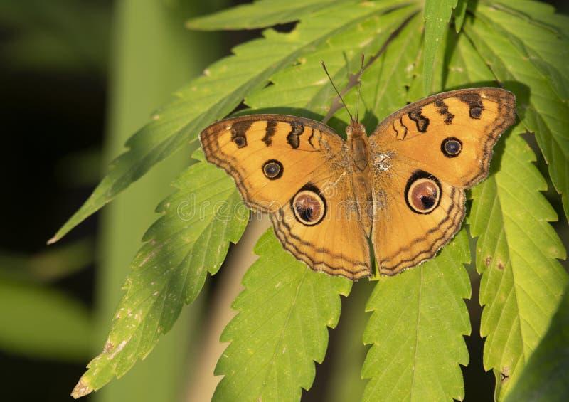 在大麻叶子的孔雀蝴蝶花蝴蝶  免版税图库摄影