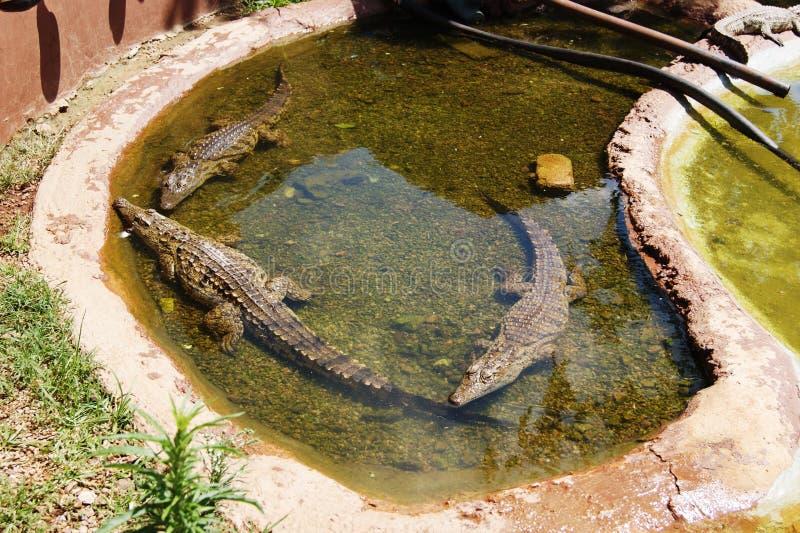 在大水池的三条小的鳄鱼用水 库存照片