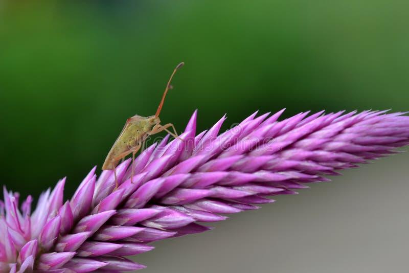 在大紫罗兰色花的昆虫 免版税库存照片