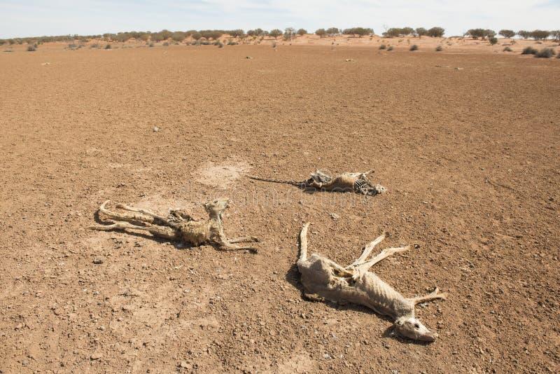 在天旱情况期间的死的袋鼠 免版税库存照片