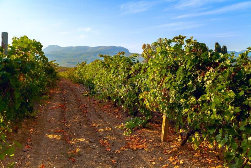 在天期间,葡萄园风景 免版税库存照片