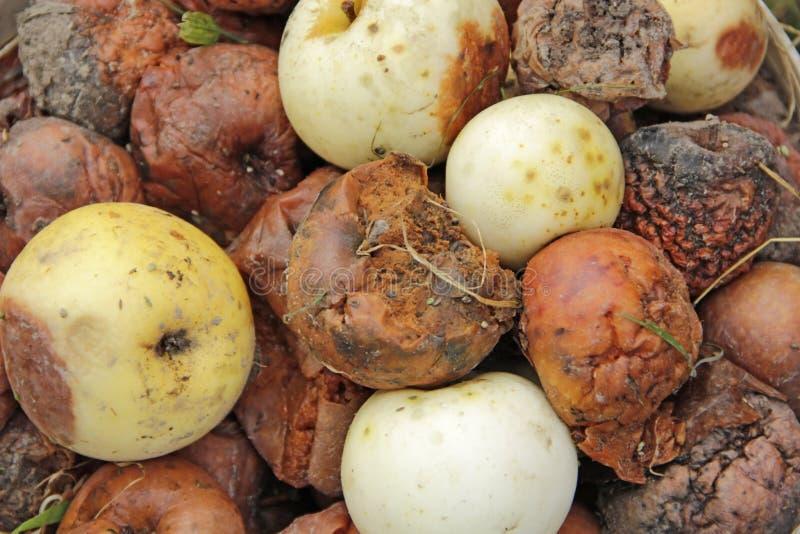 在天然肥料堆的腐烂和白色苹果在庭院里 从果树园的庄稼 免版税库存图片
