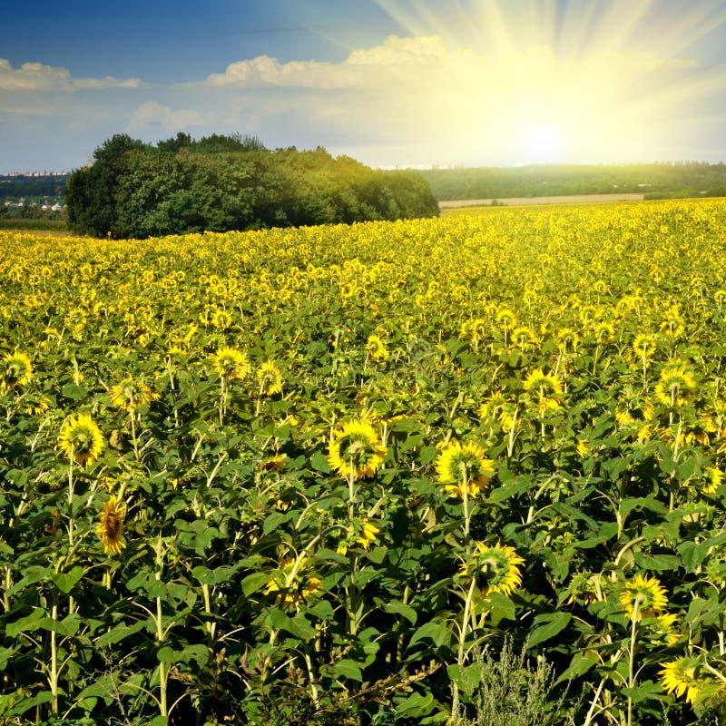 在天空向日葵的蓝色域 免版税库存图片