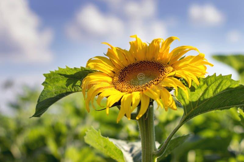 在天空向日葵的蓝色多云域 向日葵,开花的向日葵,向日葵领域 图库摄影