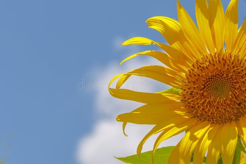 在天空向日葵的蓝色多云域 免版税库存图片