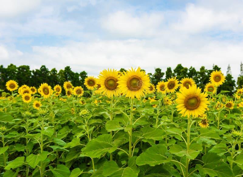 在天空向日葵的蓝色多云域 免版税库存照片