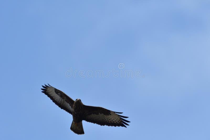 在天空特写镜头的鹰掠食性鸟飞行 免版税库存照片