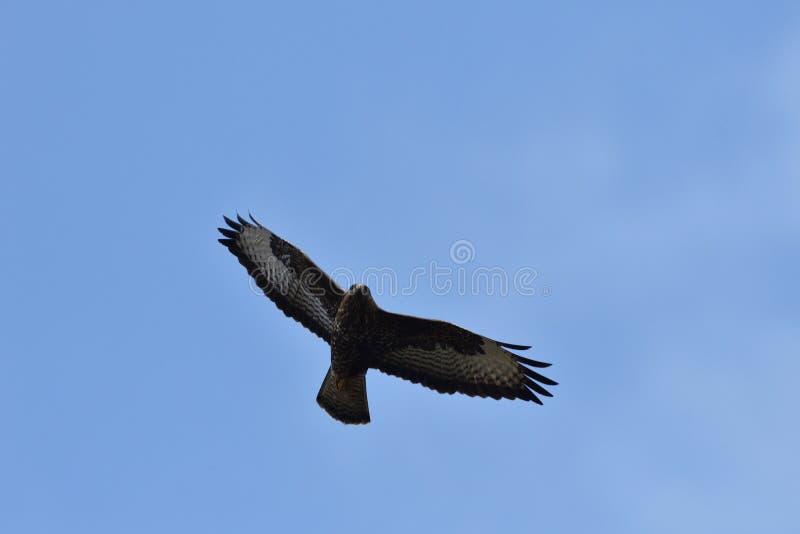 在天空特写镜头的鹰掠食性鸟飞行 免版税图库摄影