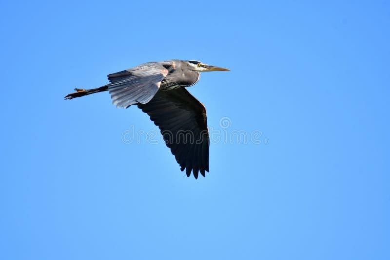 在天空的伟大蓝色的苍鹭的巢飞行 库存照片