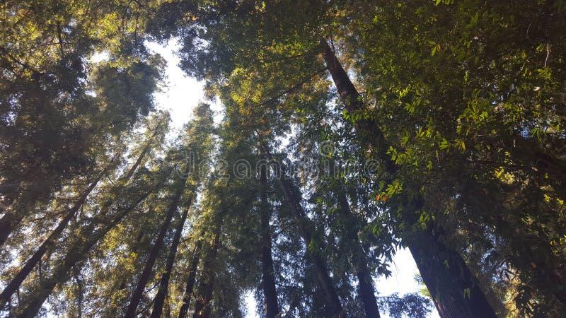 在天空的偷看通过红木森林 库存照片