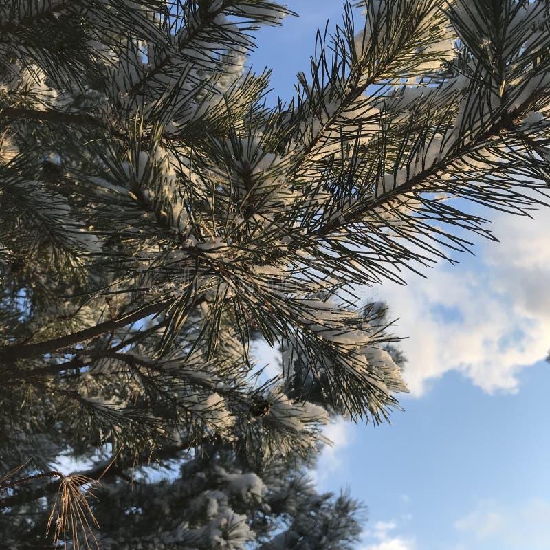 在天空的圣诞树分支 库存照片